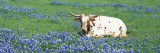 Texas Longhorn Cow Sitting on a Field, Hill County, Texas, USA - Panoramic Images