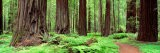 Trail, Avenue of the Giants, Founders Grove, California, USA - Panoramic Images