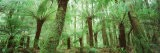 Trees in a Forest, Franklin Gordon Wild Rivers National Park, Tasmania, Australia - Panoramic Images