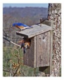 Bluebirds Of Gales Ferry, CT - Patrick Maloney