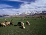 Sheep Graze on Fertile Green Pastures of Zagros Plains, Iran - Patrick Syder