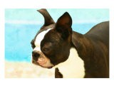 Boston Terrier Seaside - Patti Meador