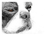 Boston Terrier Sketch - Patti Meador