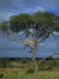 Cheetah in a Tree, Kruger National Park, South Africa, Africa - Paul Allen