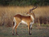 Close-Up of a Red Lechwe, Okavango Delta, Botswana, Africa - Paul Allen