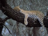 Close-Up of a Single Leopard, Asleep in a Tree, Kruger National Park, South Africa - Paul Allen