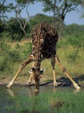 Close-Up of a Single Southern Giraffe Bending Down Drinking, Kruger National Park, South Africa - Paul Allen