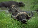 Close-Up of Head of Cape Buffalo, Kruger National Park, South Africa, Africa - Paul Allen