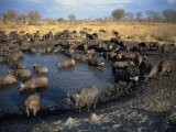 Herd of Cape Buffalo Drinking at a Water Hole, Kruger National Park, South Africa - Paul Allen