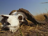 Skull of Cape Buffalo, Kruger National Park, South Africa, Africa - Paul Allen