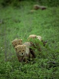 Small Group of Cheetah Cubs, Kruger National Park, South Africa, Africa - Paul Allen