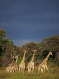 Small Group of Southern Giraffe, Okavango Delta, Botswana, Africa - Paul Allen