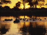 Tranquil Scene of a Group of Hippopotamus in Water at Sunset, Okavango Delta, Botswana - Paul Allen