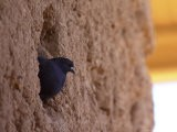 Pigeons Roost in the Prehistoric Hohokam Indian Structure - Paul Connors