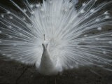 A Beautiful Albino Peacock (Pavo Species) Walks Toward the Camera - Paul Damien