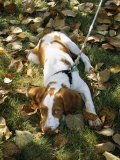 Portrait of a Brittany Spaniel Puppy Lying Among Fallen Autumn Leaves - Paul Damien
