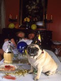 Pug Dog After New Year's Eve Party - Paul Gallaher