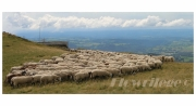 photo animaux campagne moutons auvergne montagne : The sheeps' way