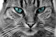 photo animaux chat yeux : chat