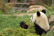 photo animaux : Panda 1