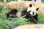 photo animaux : Panda 2