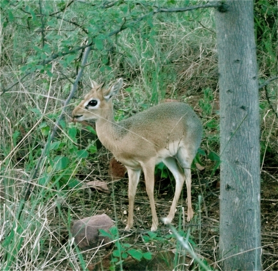 PHOTO Bovidé Namibie Animaux  - Damara Dik-Dik