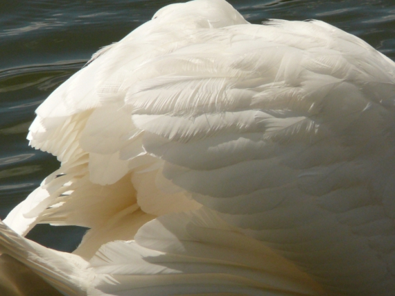 PHOTO  - Cygne Plumes