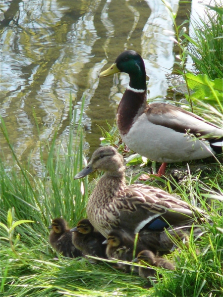 PHOTO  - Famille Canard