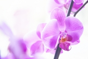 photo fleurs orchidee nature rose lumiere : Orchidée rose