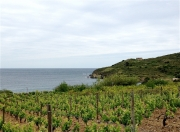 photo paysages banyuls vin portvendres cote vermeille : Vignoble du Banyuls