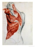 Human Anatomy, Muscles of the Torso and Shoulder - Pierre Jean David d'Angers