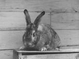Rabbit Being Displayed at a Rabbit Show
