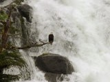An American Bald Eagle Perched in a Tree Near a Rushing Waterfall - Ralph Lee Hopkins