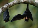 Flying Fox Bats Hang from a Limb in an American Samoa Rainforest - Randy Olson