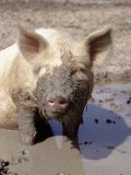 Close-up of Muddy Pig in Puddle - Ray Hendley