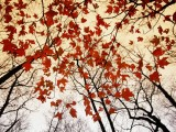 Red Maple and Autumn Sky - Raymond Gehman