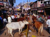 Human and Animal Traffic on Dasaswamedh Ghat Road, Varanasi, Uttar Pradesh, India - Richard I'Anson