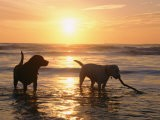 Labrador Retrievers Play in the Water at Sunset - Roy Toft