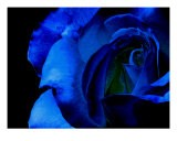 Blue Rose On Black Background - Sally Stoneking