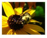 Bumble Bee Enjoying Yellow Daisy - Sally Stoneking