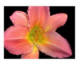 Pink Lily Digital Art - Sally Stoneking