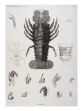Description de l'Egypte : Zoologie, crustacé : homard - Salvadore Tresca