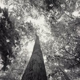 A Black and White View Looking up in the Interior of a Forest - Sam Kittner