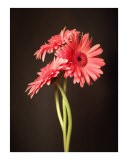 Gerbera - Sam Lee