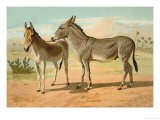Abyssinian Male and Indian Onager Female - Samuel Sidney