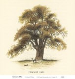Common Oak - Samuel Williams