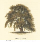 Oriental Plane - Samuel Williams