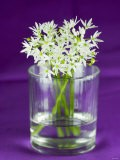 Ramsons (Wild Garlic) Flowers in a Glass - Sara Jones