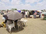 Somaliland Women with Their Goats Protect Themselves from Hot Sun with Umbrellas - Sayyid Azim