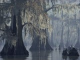 Spanish Moss Drapes Old Cypress Trees on Lake Verret, Louisiana